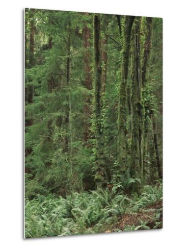 Rainforest, Olympic Peninsula, Olympic National Park, Washington State, USA-Walter Bibikow-Metal Print