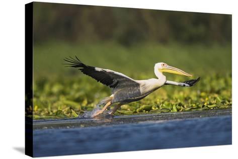 Great White Pelican Bird in the Danube Delta, Europe, Romania-Martin Zwick-Stretched Canvas Print