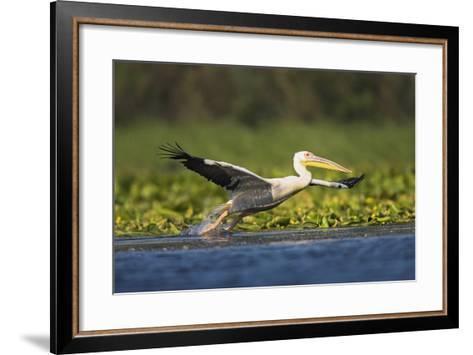 Great White Pelican Bird in the Danube Delta, Europe, Romania-Martin Zwick-Framed Art Print