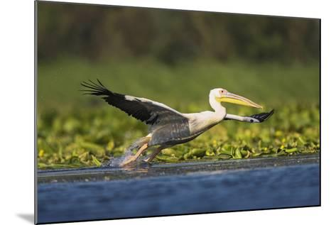 Great White Pelican Bird in the Danube Delta, Europe, Romania-Martin Zwick-Mounted Photographic Print