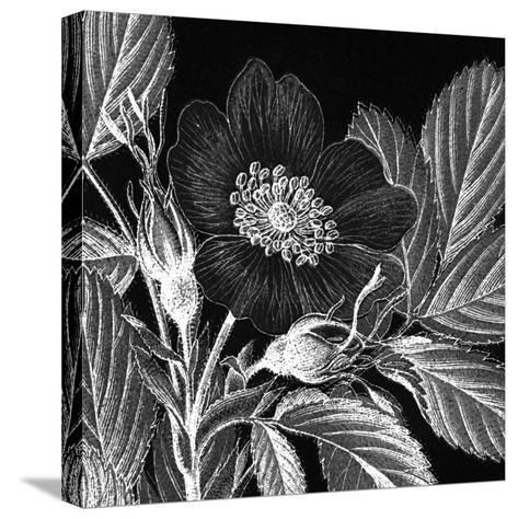 Rosa Pomifera-Thea Schrack-Stretched Canvas Print