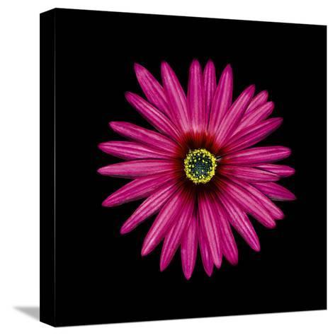 Pink Daisy-JoSon-Stretched Canvas Print