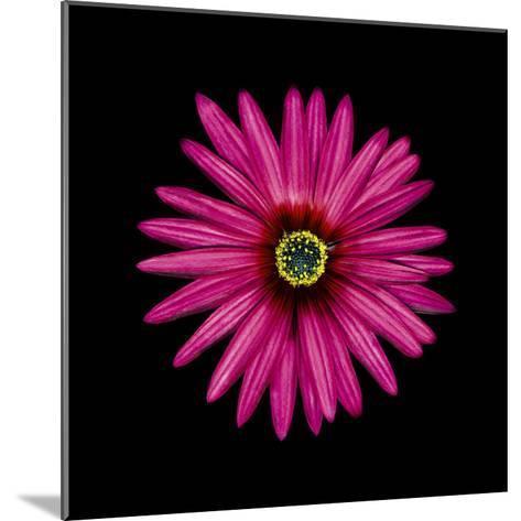 Pink Daisy-JoSon-Mounted Premium Photographic Print