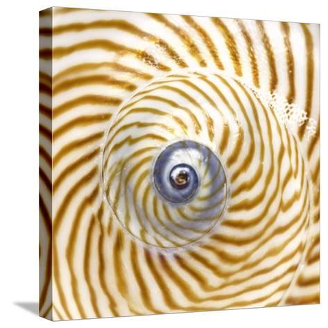 Sea Shelll Abst No.20-Shams Rasheed-Stretched Canvas Print