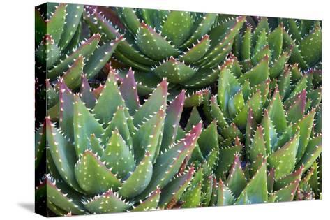 Aloe 1-PhotoDF-Stretched Canvas Print