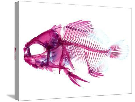 Coradion Fish--Stretched Canvas Print