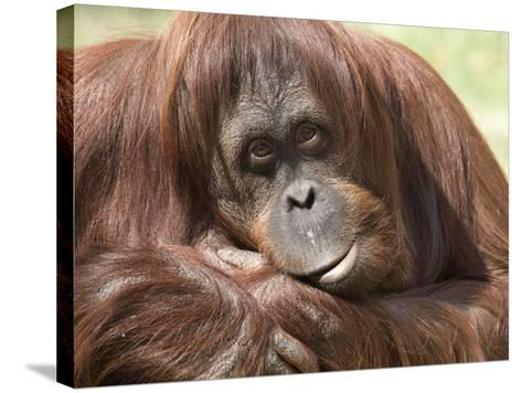 National Zoological Park: Orangutan--Stretched Canvas Print