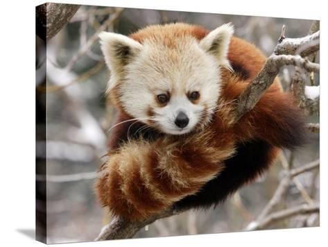 National Zoological Park: Red Panda--Stretched Canvas Print