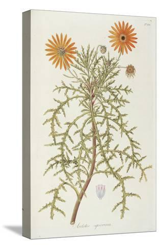 Smithsonian Libraries: Arctotis squarrosa--Stretched Canvas Print
