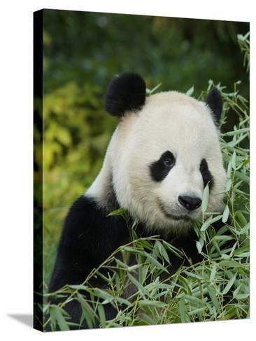 National Zoological Park: Giant Panda--Stretched Canvas Print