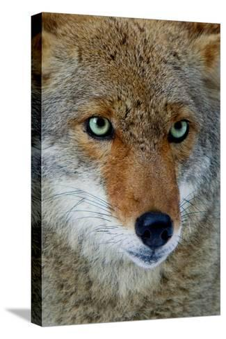 Fox Face-Howard Ruby-Stretched Canvas Print