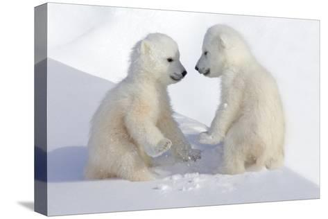 Dueling Polar Bear Cubs-Howard Ruby-Stretched Canvas Print