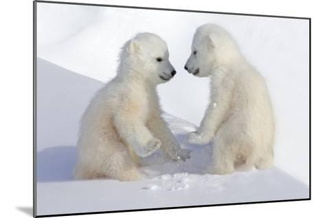 Dueling Polar Bear Cubs-Howard Ruby-Mounted Photographic Print
