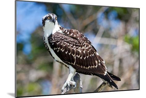 Osprey, Yucatan, Mexico-Howard Ruby-Mounted Photographic Print