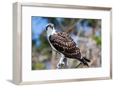 Osprey, Yucatan, Mexico-Howard Ruby-Framed Art Print