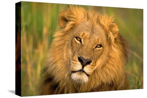 Lion King-Howard Ruby-Stretched Canvas Print