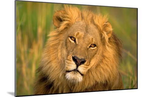 Lion King-Howard Ruby-Mounted Photographic Print
