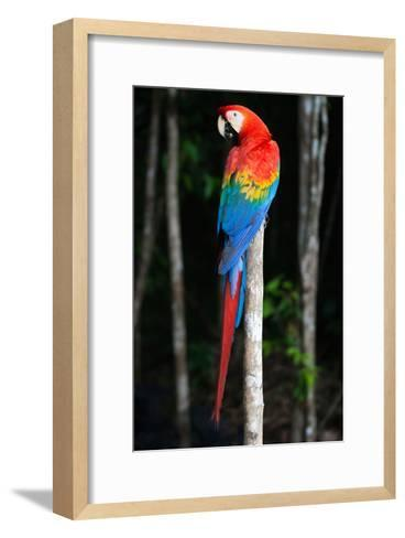 Scarlet Macaw's Feathers-Howard Ruby-Framed Art Print