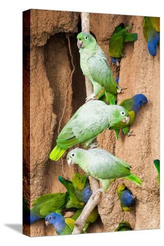 Mealy Parrots at Clay-Lick-Howard Ruby-Stretched Canvas Print