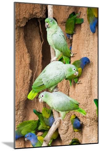 Mealy Parrots at Clay-Lick-Howard Ruby-Mounted Photographic Print
