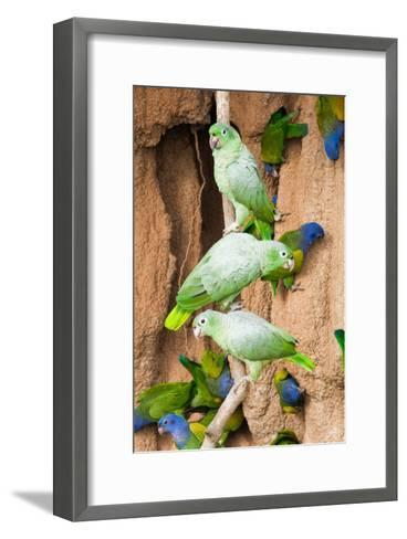Mealy Parrots at Clay-Lick-Howard Ruby-Framed Art Print