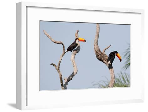 Two Tucans in a Tree-Howard Ruby-Framed Art Print