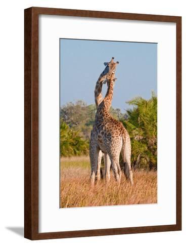 Two Male Giraffes Fighting-Howard Ruby-Framed Art Print