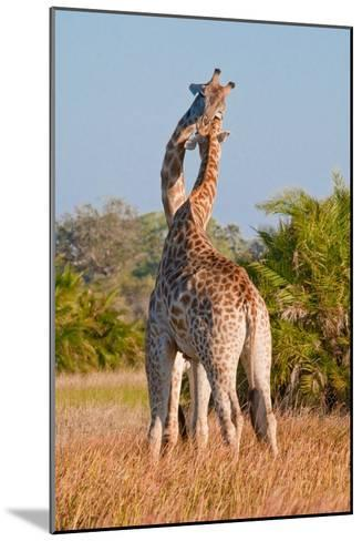 Two Male Giraffes Fighting-Howard Ruby-Mounted Photographic Print