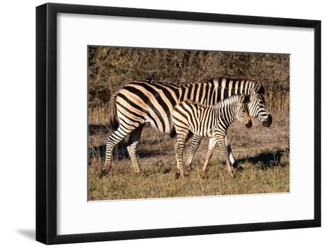 Burchell's Zebra-Howard Ruby-Framed Art Print