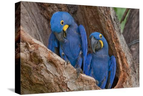 Hyacinth Macaws in a Tree-Howard Ruby-Stretched Canvas Print