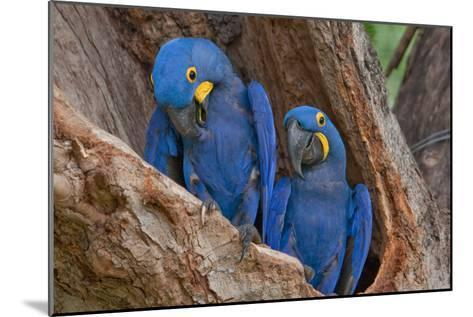 Hyacinth Macaws in a Tree-Howard Ruby-Mounted Photographic Print