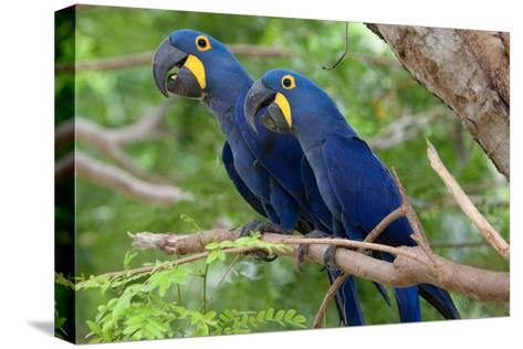 The Two Hyacinth Macaw-Howard Ruby-Stretched Canvas Print