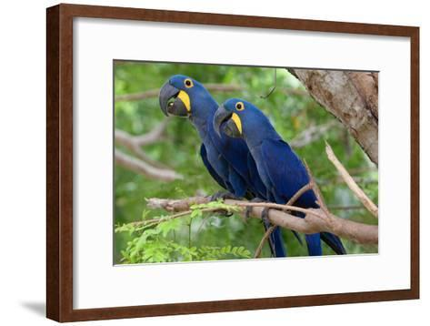 The Two Hyacinth Macaw-Howard Ruby-Framed Art Print