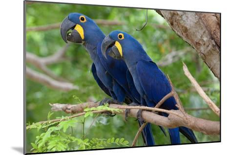 The Two Hyacinth Macaw-Howard Ruby-Mounted Photographic Print