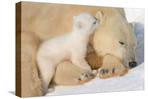 Cub Whispering to Mother-Howard Ruby-Stretched Canvas Print