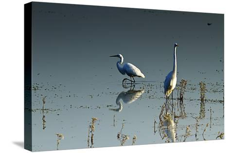 Early Morning Egrets 2-Alan Hausenflock-Stretched Canvas Print