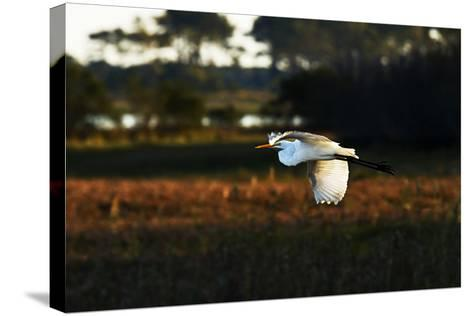 Egret in Flight 2-Alan Hausenflock-Stretched Canvas Print