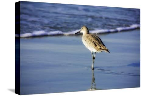 Sandpiper in the Surf I-Alan Hausenflock-Stretched Canvas Print