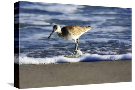 Sandpiper in the Surf III-Alan Hausenflock-Stretched Canvas Print