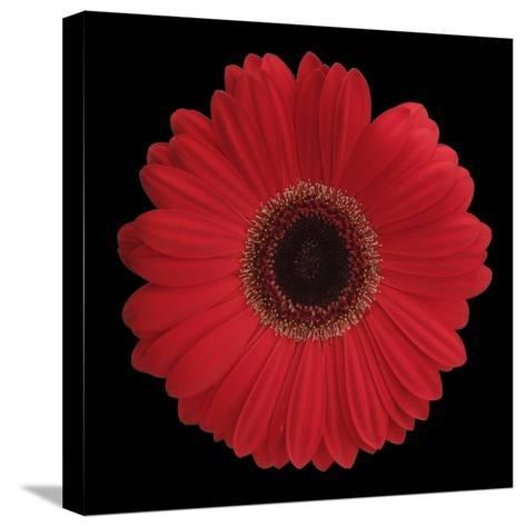 Red Gerbera Daisy-Jim Christensen-Stretched Canvas Print