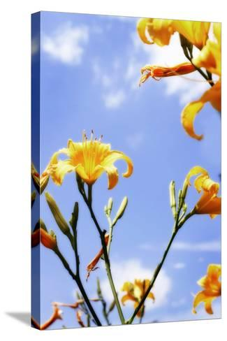 Daylilies-Alan Hausenflock-Stretched Canvas Print