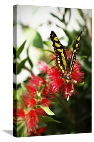 Baird's Swallowtail I-Alan Hausenflock-Stretched Canvas Print