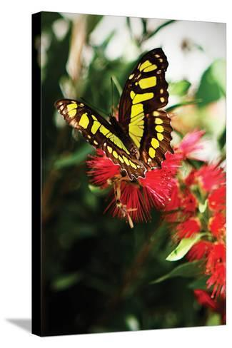 Baird's Swallowtail II-Alan Hausenflock-Stretched Canvas Print