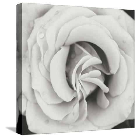 Classic Rose Square-Erin Berzel-Stretched Canvas Print