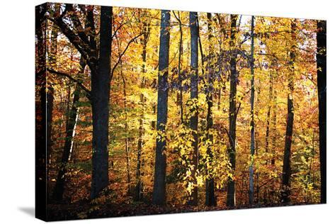 Sunset Through the Woods 2-Alan Hausenflock-Stretched Canvas Print