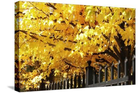 Boughs of Gold 4-Alan Hausenflock-Stretched Canvas Print