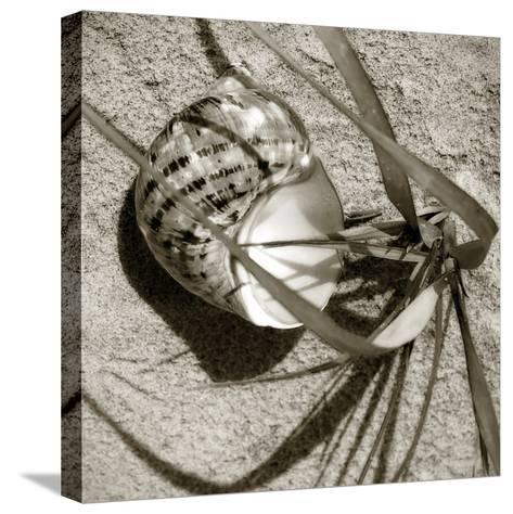 Seashells III-Alan Hausenflock-Stretched Canvas Print