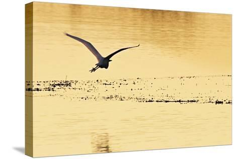 Egrets in the Sunrise 4-Alan Hausenflock-Stretched Canvas Print