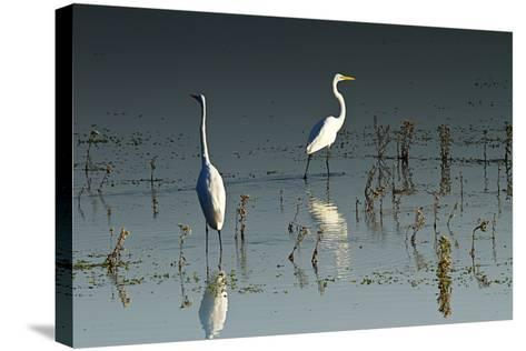 Early Morning Egrets 1-Alan Hausenflock-Stretched Canvas Print