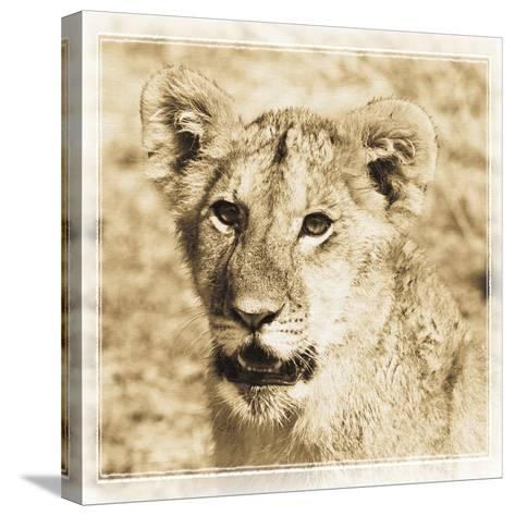 Young Africa Lion-Susann Parker-Stretched Canvas Print